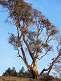 ώριμο δέντρο arbutus Στοκ Φωτογραφία