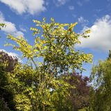 Ώριμο δέντρο Laburnum στο λουλούδι στοκ φωτογραφία με δικαίωμα ελεύθερης χρήσης