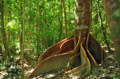 ώριμο δέντρο strangler σύκων Στοκ Εικόνες
