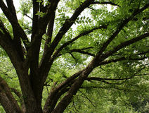 ώριμο δρύινο δέντρο Στοκ Εικόνες