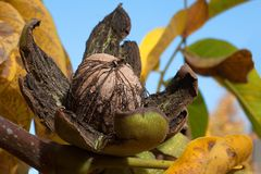 Ώριμο καρύδι ξύλων καρυδιάς στο δέντρο Στοκ Φωτογραφίες