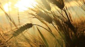 Ώριμο κριθάρι κάτω από το φως του ήλιου φιλμ μικρού μήκους