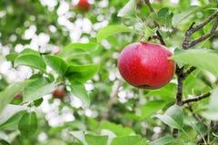 Ώριμο κόκκινο μήλο έτοιμο για την επιλογή από έναν οπωρώνα Στοκ Εικόνες
