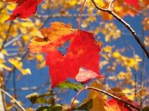 Ώριμο κόκκινο φύλλο σφενδάμου Στοκ Εικόνες