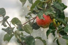 Ώριμο μήλο σε έναν κλάδο που πλένεται με τις προβολές ύδατος στοκ φωτογραφία