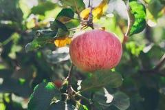 Ώριμο μήλο στην κινηματογράφηση σε πρώτο πλάνο κλάδων του δέντρου στον κήπο Στοκ Φωτογραφίες