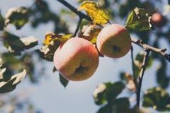 Ώριμο μήλο στην κινηματογράφηση σε πρώτο πλάνο κλάδων του δέντρου στον κήπο Στοκ φωτογραφία με δικαίωμα ελεύθερης χρήσης