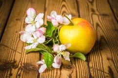Ώριμο μήλο και ανθίζοντας κλάδος ενός Apple-δέντρου Στοκ Εικόνα