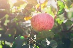 Ώριμο μήλο στην κινηματογράφηση σε πρώτο πλάνο κλάδων του δέντρου στον κήπο Στοκ Φωτογραφία