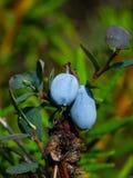 Ώριμο μύρτιλλο ελών ή Vaccinium uliginosum, σε μια μακρο, εκλεκτική εστίαση θάμνων, ρηχό DOF στοκ εικόνα με δικαίωμα ελεύθερης χρήσης