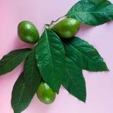 Ώριμο πράσινο αβοκάντο με τα φύλλα Στοκ φωτογραφία με δικαίωμα ελεύθερης χρήσης