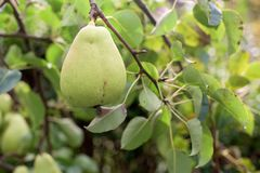 Ώριμο πράσινο αχλάδι σε ένα δέντρο Στοκ εικόνες με δικαίωμα ελεύθερης χρήσης
