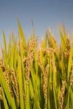 Ώριμο ρύζι ορυζώνα Στοκ Εικόνες