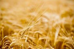 Ώριμο σιτάρι στους τομείς στοκ εικόνα με δικαίωμα ελεύθερης χρήσης