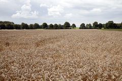 Ώριμο σιτάρι συγκομιδών στον αγροτικό τομέα Στοκ Φωτογραφίες