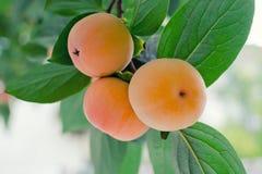 Ώριμο φρέσκο persimmon στο δέντρο Στοκ Εικόνες