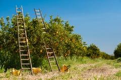 ώριμο χρονικό δέντρο επίγειων συγκομιδών κήπων μήλων Στοκ Εικόνες