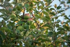 Ώριμο Appls στον κλάδο δέντρων της Apple Στοκ εικόνα με δικαίωμα ελεύθερης χρήσης