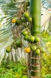Ώριμο areca κινηματογραφήσεων σε πρώτο πλάνο καρύδι ή Areca catechu, ακατέργαστο betel - καρύδι Στοκ Φωτογραφία