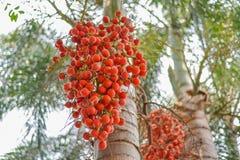 Ώριμο areca-nut στοκ φωτογραφία με δικαίωμα ελεύθερης χρήσης