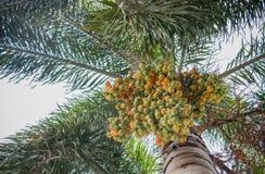 Ώριμο areca-nut στοκ φωτογραφίες με δικαίωμα ελεύθερης χρήσης