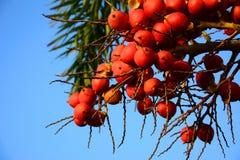 Ώριμο betel - καρύδι Στοκ φωτογραφία με δικαίωμα ελεύθερης χρήσης