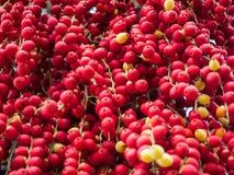 Ώριμο betel - φοίνικας καρυδιών ή Areca καρυδιών στο δέντρο Στοκ Φωτογραφία
