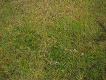 Ώριμο betel - φοίνικας καρυδιών ή Areca καρυδιών στο δέντρο Στοκ φωτογραφίες με δικαίωμα ελεύθερης χρήσης