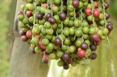 Ώριμο betel - φοίνικας καρυδιών ή Are-ca καρυδιών στοκ φωτογραφία με δικαίωμα ελεύθερης χρήσης