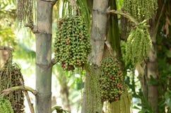 Ώριμο betel - φοίνικας καρυδιών ή Are-ca καρυδιών στοκ εικόνες