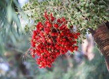 Ώριμο betel - φοίνικας καρυδιών ή Areca καρυδιών Στοκ φωτογραφία με δικαίωμα ελεύθερης χρήσης