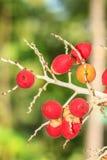 Ώριμο betel - φοίνικας καρυδιών ή Areca καρυδιών Στοκ Φωτογραφίες