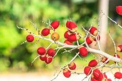 Ώριμο betel - φοίνικας καρυδιών ή Areca καρυδιών Στοκ Εικόνα
