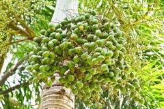Ώριμο betel - φοίνικας καρυδιών ή Are-ca καρυδιών στοκ φωτογραφία