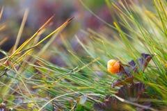 Ώριμο cloudberry μούρων Στοκ φωτογραφίες με δικαίωμα ελεύθερης χρήσης