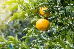 Ώριμο tangerines πορτοκάλι στο δέντρο Στοκ Φωτογραφία
