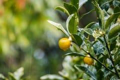 Ώριμο tangerines πορτοκάλι στο δέντρο Στοκ Εικόνες