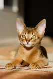 абиссинские детеныши кота действия стоковые фото
