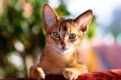 абиссинские детеныши кота стоковые изображения rf