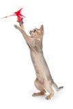 Абиссинские игры котенка Стоковое Изображение RF