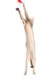 Абиссинские игры котенка Стоковые Фотографии RF