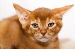 абиссинский котенок Стоковая Фотография RF