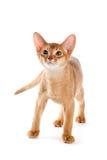 абиссинский котенок Стоковое Изображение RF