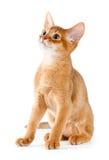абиссинский котенок Стоковая Фотография