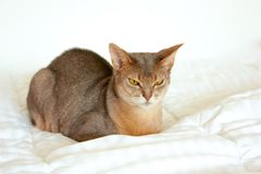 Абиссинский кот Близкий поднимающий вверх портрет голубого абиссинского женского кота, сидя на белом одеяле Милый кот на белой пр стоковая фотография rf
