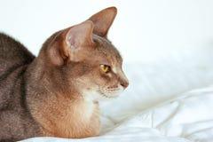 Абиссинский кот Близкий поднимающий вверх портрет голубого абиссинского женского кота, сидя на белом одеяле Милый кот на белой пр стоковое фото rf