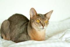 Абиссинский кот Близкий поднимающий вверх портрет голубого абиссинского женского кота, сидя на белом одеяле Милый кот на белой пр стоковая фотография