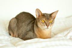 Абиссинский кот Близкий поднимающий вверх портрет голубого абиссинского женского кота, сидя на белом одеяле Милый кот на белой пр стоковое фото