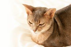 Абиссинский кот Близкий поднимающий вверх портрет голубого абиссинского женского кота, сидя на белом одеяле Милый кот на белой пр стоковые фотографии rf