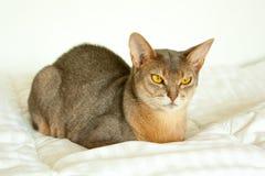 Абиссинский кот Близкий поднимающий вверх портрет голубого абиссинского женского кота, сидя на белом одеяле Милый кот на белой пр стоковое изображение